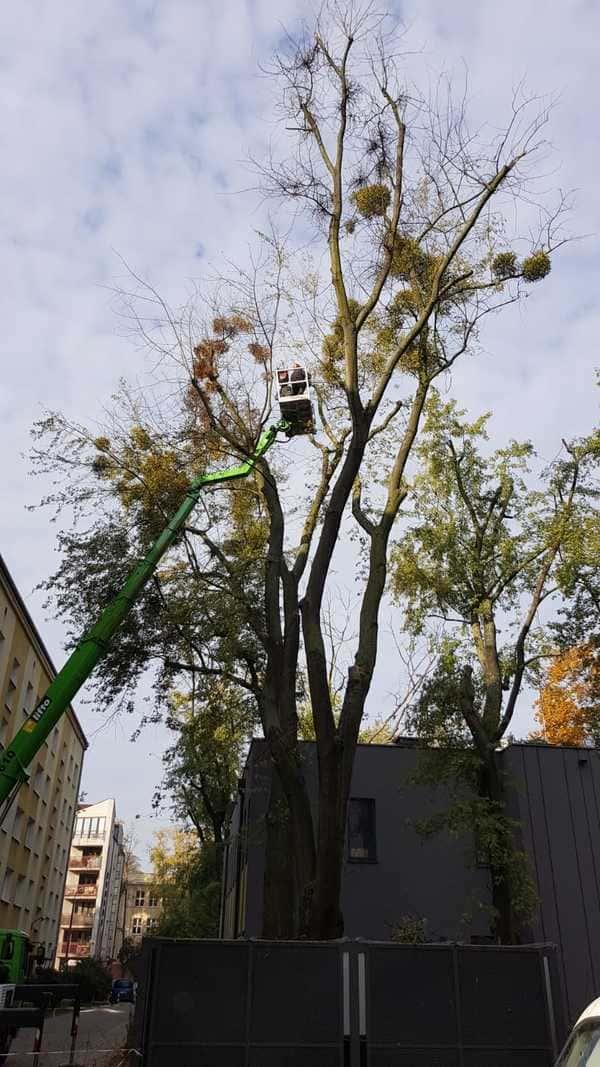 Jemioła na drzewach