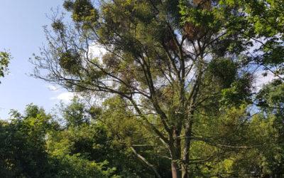 Czy należy usuwać jemiołę z drzew?
