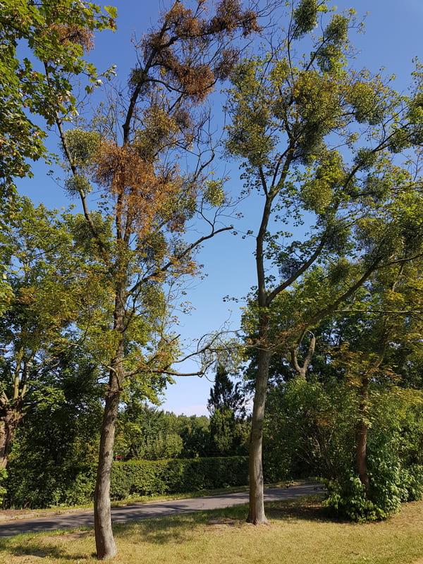 Wycinka obumarłych drzew